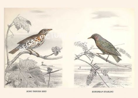 Fine art print of the SONG THRUSH BIRD - EUROPEAN STARLING by Édouard Traviès de Villers (1864) reproduced by Segas Picture Gallery.<br />Open Edition